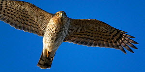 Sparrow Hawk (Accipiter nisus) female in flight, Hanko, Finland  -  Markus Varesvuo