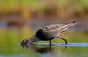 Spotted Redshank (Tringa erythopus) foraging, with head submerged in water, Summer plumage Loviisa, Finland - Markus Varesvuo