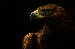 Golden eagle (Aquila chrysaetos) captive - Edwin Giesbers