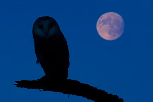 Barn owl (Tyto alba) silhouetted perched on branch with full moon, captive, digital composite  -  Edwin Giesbers