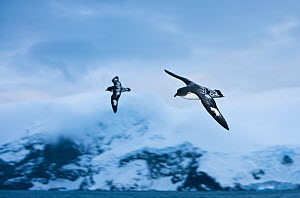 Two Cape / Pintado Petrels (Daption capense) in flight over Point Wild on Elephant Island, Southern Ocean, November.  -  Roy Mangersnes