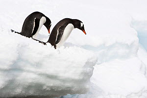 Two Gentoo Penguins (Pygoscelis papua) on deep snow, Cuverville Island, Antarctica. November. - Roy Mangersnes