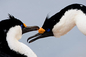 Antarctic Shag (Leucocarbo bransfieldensis) pair preening on Useful Island, Antarctica. November.  -  Roy Mangersnes