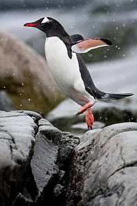 Gentoo Penguin (Pygoscelis papua) jumping between rocks on Useful Island, Antarctica. November. - Roy Mangersnes