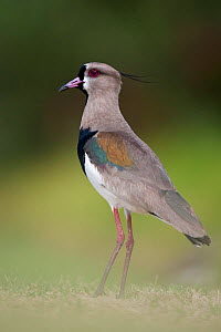 Southern Lapwing (Vanellus chilensis) Buenos Aires, Argentina, South America. November.  -  Roy Mangersnes