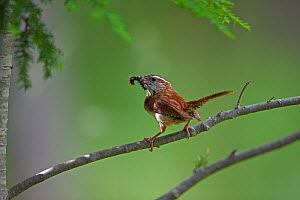 Carolina Wren (Thryothorus ludovicianus) perched on branch holding caterpillar in beak, New York, USA  -  John Cancalosi