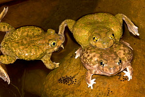 Couch's Spadefoot (Scaphiopus couchii) several males competing to mate with one female, USA  -  John Cancalosi