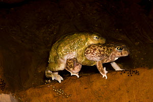 Couch's Spadefoot (Scaphiopus couchii) pair in amplexus, showing female laying eggs, USA  -  John Cancalosi