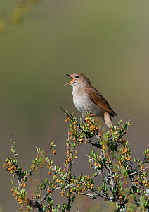 Male Nightingale (Luscinia megarhychos) at the top of a bush singing, Castelo Branco, Portugal - Roger Powell