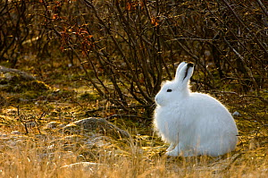 Arctic hare (Lepus arcticus) in undergrowth. Churchill, Manitoba, Canada. October  -  Inaki Relanzon