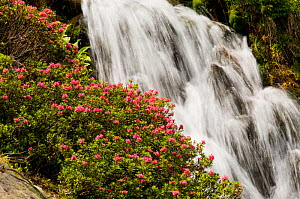 Alpine rose (Rhododendron ferrugineum) with waterfall in the background, La Cerdagna, Pyrenees, Catalonia, Spain. June 2006  -  Inaki Relanzon