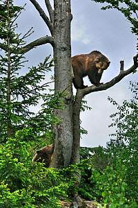 European Brown bear (Ursus arctos) female climbed tree and is looking down at male bear, Bavarian Forest NP, Germany, Captive  -  Philippe Clement