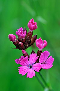 Charterhouse / Carthusian pink (Dianthus carthusianorum) in flower, Germany  -  Philippe Clement