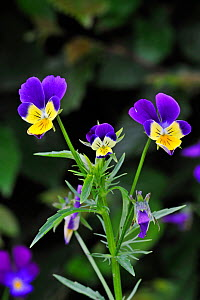 Heartsease / Wild pansy (Viola tricolor) in flower, Belgium  -  Philippe Clement