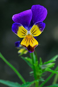 Heartsease / Wild pansy (Viola tricolor) flower, Belgium  -  Philippe Clement