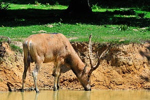 Pere David's deer / Milu (Elaphurus davidianus) stag drinking from river, native to China, Captive  -  Philippe Clement
