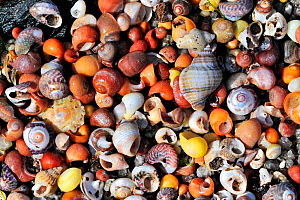 Sea snail shells on beach, Brittany, France - Philippe Clement