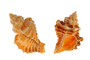 Sting winkle / Oyster drill / Hedgehog Murex (Ocenebra erinacea) shells, Brittany, France  -  Philippe Clement