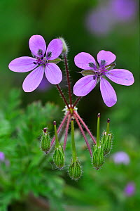 Redstem filaree / Storksbill / Common stork's-bill (Erodium cicutarium) flowers, Belgium  -  Philippe Clement