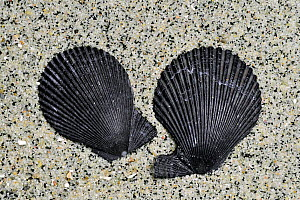 Variegated scallop (Chlamys varia / Mimachlamys varia) shells on beach showing the ears of right and left valves, Brittany, France  -  Philippe Clement