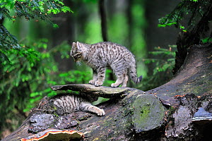 Wild cat (Felis silvestris) two kittens playing on tree trunk in forest, Germany. Captive  -  Philippe Clement