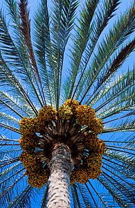 Date palm {Phoenix dactylifera} looking up at the ripening dates, Muscat, Oman  -  Hanne & Jens Eriksen