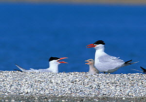 Caspian tern {Hydroprogne caspia} adults with chick, Turkey  -  Hanne & Jens Eriksen