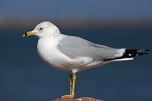 Ring billed gull {Larus delawarensis} portrait, Texas, USA - Hanne & Jens Eriksen