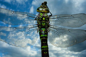 Female Emperor dragonfly (Anax imperator) close-up, on twig above water with clouds reflected, Europe - Laurent Geslin
