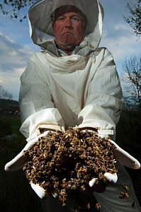 Bee keeper holding dead Honey bees (Apis mellifera) from a hive affected by colony collapse disorder, Europe  -  Laurent Geslin