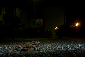European toad (Bufo bufo) crossing a road at night with car headlights - Laurent Geslin