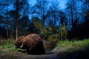 European beaver (Castor fiber) at night near a river, France  -  Laurent Geslin
