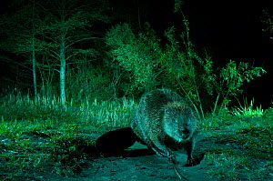European beaver (Castor fiber) at night, France  -  Laurent Geslin