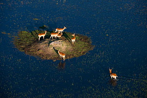 Lechwes (Kobus leche) on patch of land surrounded by water, Okavango Delta, Botswana  -  Laurent Geslin