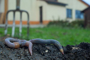 Common earthworm (Lumbricus terrestris) on dug earth in garden, England - Laurent Geslin