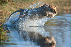Female African lion (Panthera leo) jumping in to the Khwai river, Okavango Delta, Moremi reserve, Botswana, sequence 1/5 - Laurent Geslin