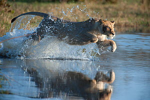Female African lion (Panthera leo) jumping in to the Khwai river, Okavango Delta, Moremi reserve, Botswana, sequence 2/5  -  Laurent Geslin