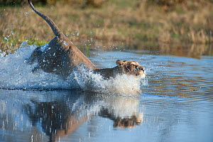 Female African lion (Panthera leo) jumping in to the Khwai river, Okavango Delta, Moremi reserve, Botswana, sequence 4/5  -  Laurent Geslin
