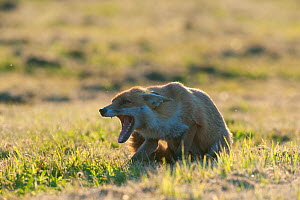 Red fox (Vulpes vulpes) mouth open and showing submissive behaviour, England  -  Laurent Geslin