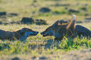 Red fox (Vulpes vulpes) pair, with female showing submissive behaviour in front of male, England  -  Laurent Geslin