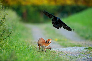 Red fox (Vulpes vulpes) intimidated by a Crow {Corvus corone} England  -  Laurent Geslin