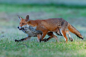 Red fox (Vulpes vulpes) vixen, with cub, 3 months, running, England  -  Laurent Geslin