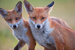 Red fox (Vulpes vulpes) vixen with cub, 3 months, England  -  Laurent Geslin