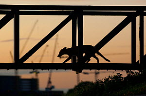 Red fox (Vulpes vulpes) walking over a bridge, silhouetted at dusk, England  -  Laurent Geslin
