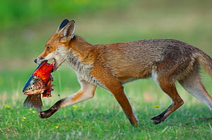 Red fox (Vulpes vulpes) carrying Brown trout (Salmo trutta) found near a fishing pond, England  -  Laurent Geslin