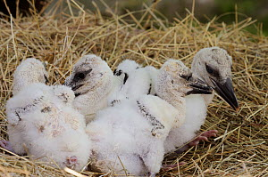 White Stork (Ciconia ciconia) four chicks in nest, Alsace, Upper Rhine, France, May - Jouan & Rius