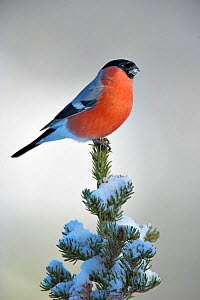 RF- Bullfinch (Pyrrhula pyrrhula) male perched, Norway. (This image may be licensed either as rights managed or royalty free.)  -  Andy  Rouse