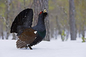 Capercaillie (Tetrao urogallus) male displaying in forest, Europe (non-ex)  January  -  Andy Rouse