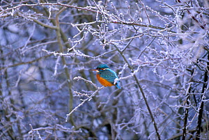Common kingfisher (Alcedo atthis) perched on frost covered branches, UK (non-ex) January. Not available for greetings cards worldwide from 1/2/2013 - 31/1/2015. - Andy Rouse