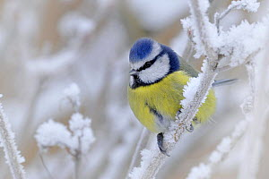 Blue tit (Parus caeruleus) perched in snow, Wales, UK (non-ex) January  -  Andy Rouse